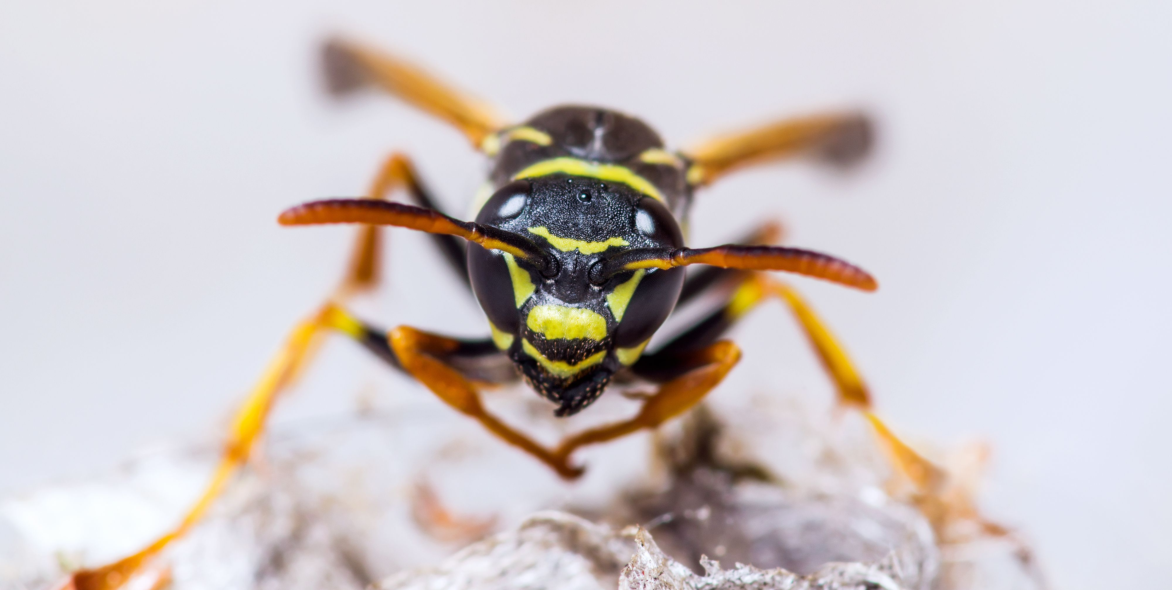 Yellowjacket Wasp Insect on Nest