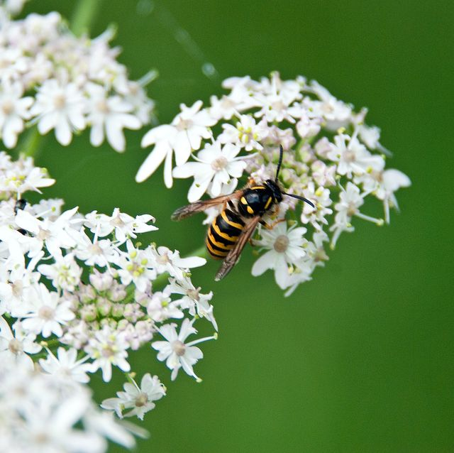 wasp on some wild white flowers in an english country garden background is soft bokeh green