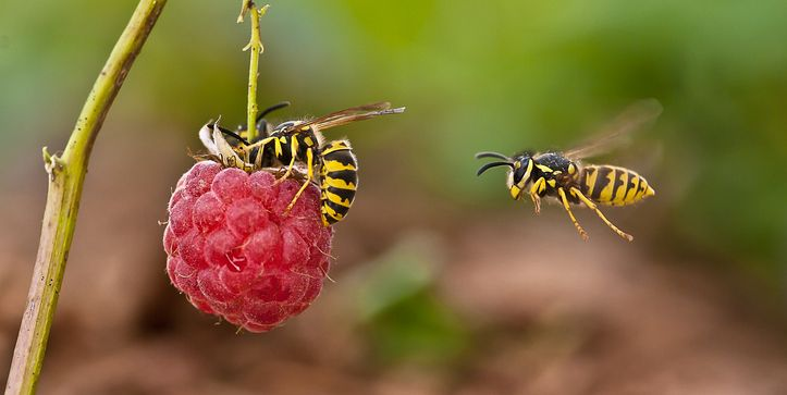 How to get rid of wasps when you're eating outside