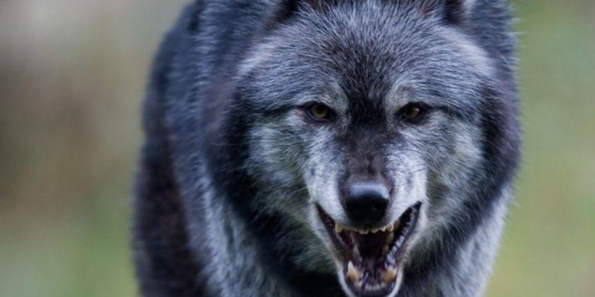 wolven-gevaarlijkste-dieren-nederland