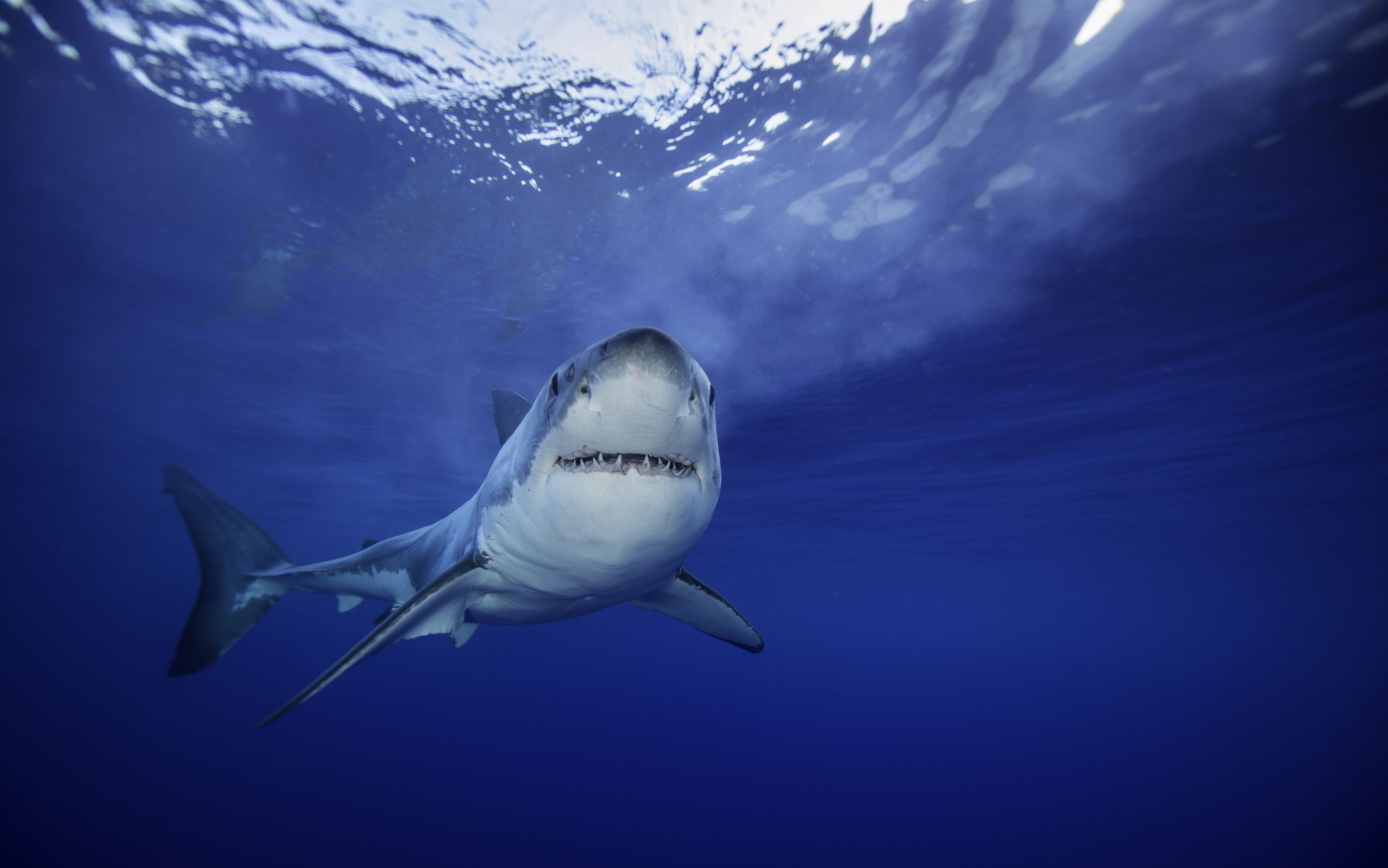How the Coronavirus Vaccine Could Kill Half a Million Sharks