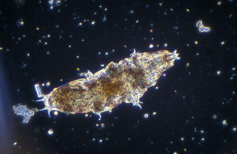 Water Bear, Tardigrade