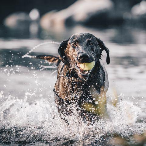 dogs that like to swim -labrador retriever