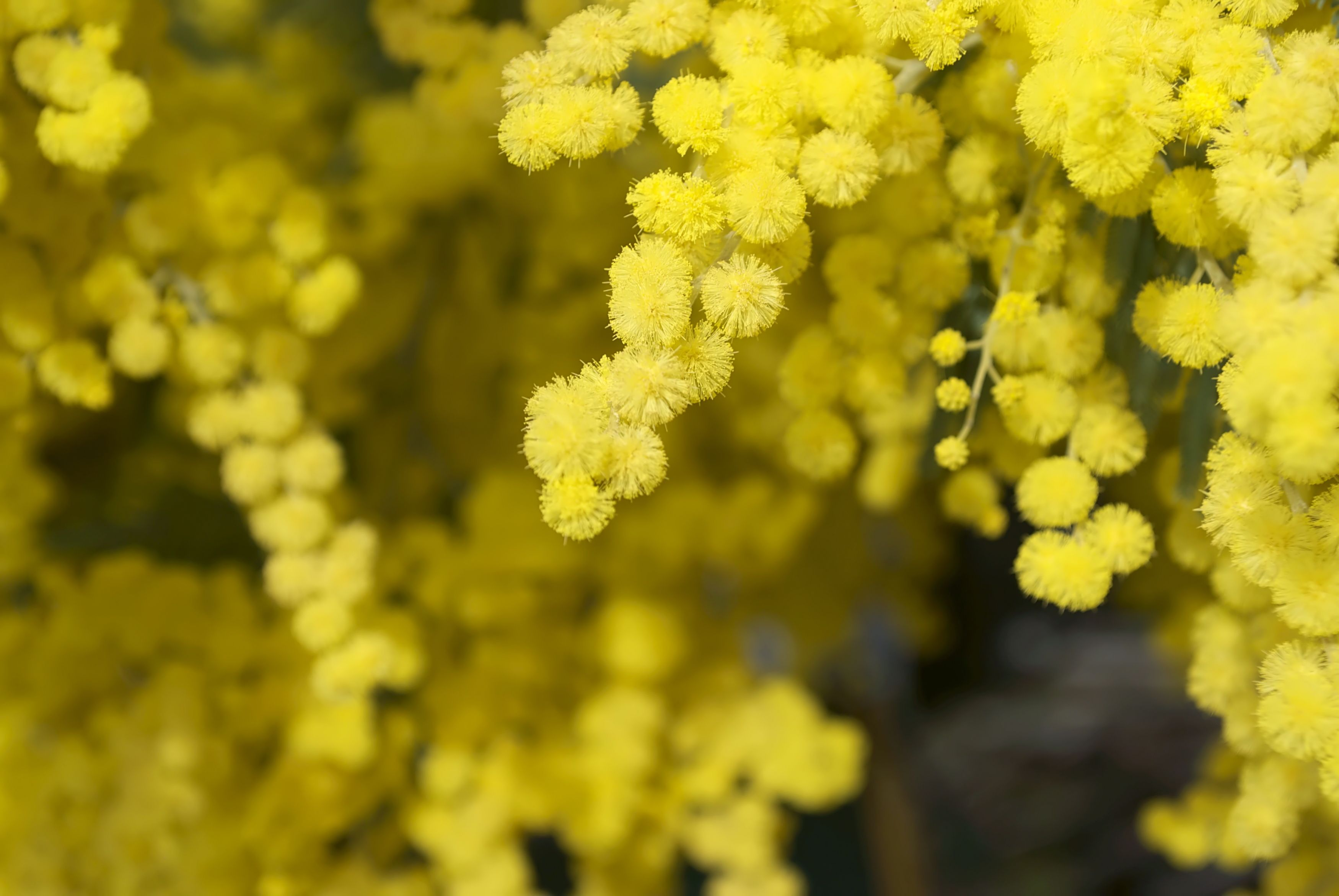 Wattle Bloom in Differential Focus