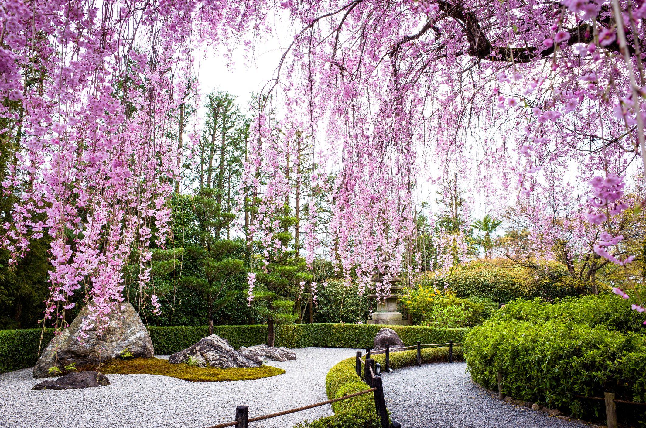 Weeping cherry blossoms by Japanese zen garden