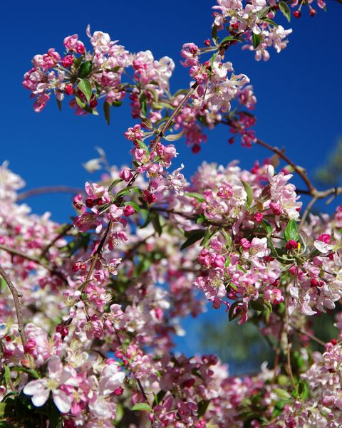 Weeping crab apple tree in blossom in springtime