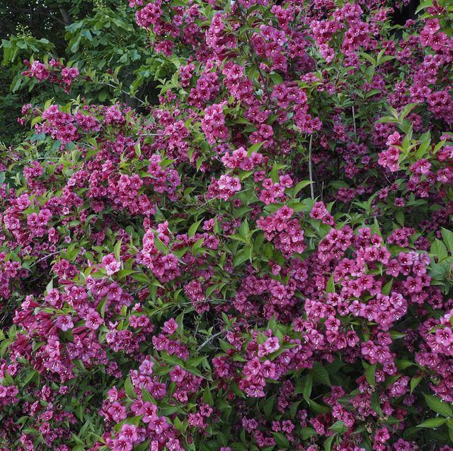 rumba weigela florida flowering at alpe di naccio in the mountains surrounding lake maggiore in southern switzerland, lepontine alps, near the cities of locarno and ascona, just across the international border between switzerland and italy