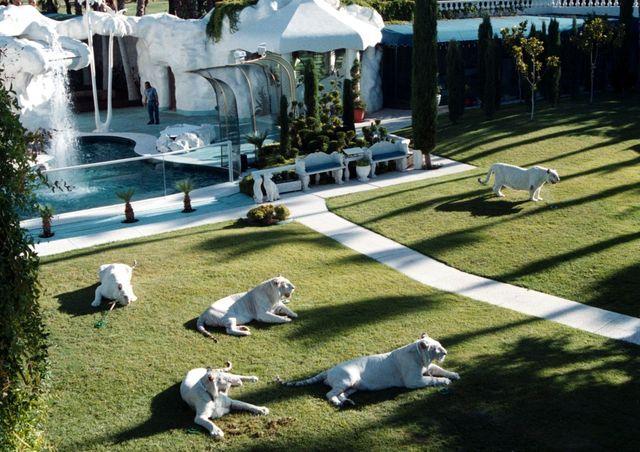 weiße tiger im garten von der villa vonsiegfried  roy, homesto