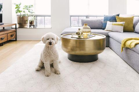 Dog, Canidae, Dog breed, Floor, Companion dog, Flooring, Room, Table, Tile, Interior design,