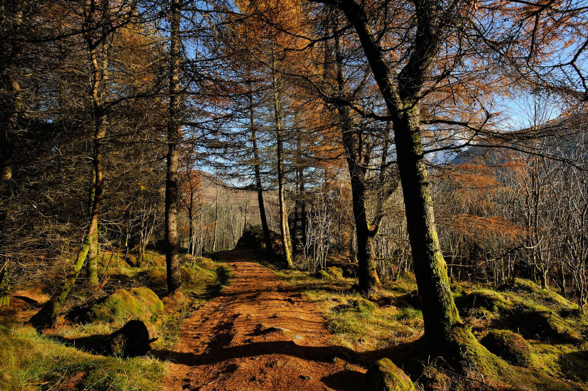 Larch trees in autumn colours along the trail of the West Highland Way near Crianlarich Scottish Highlands UK