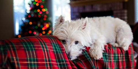 Westie at Christmas
