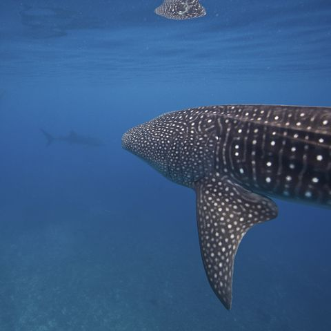 Whale sharks in the Bohol Sea, Philippines