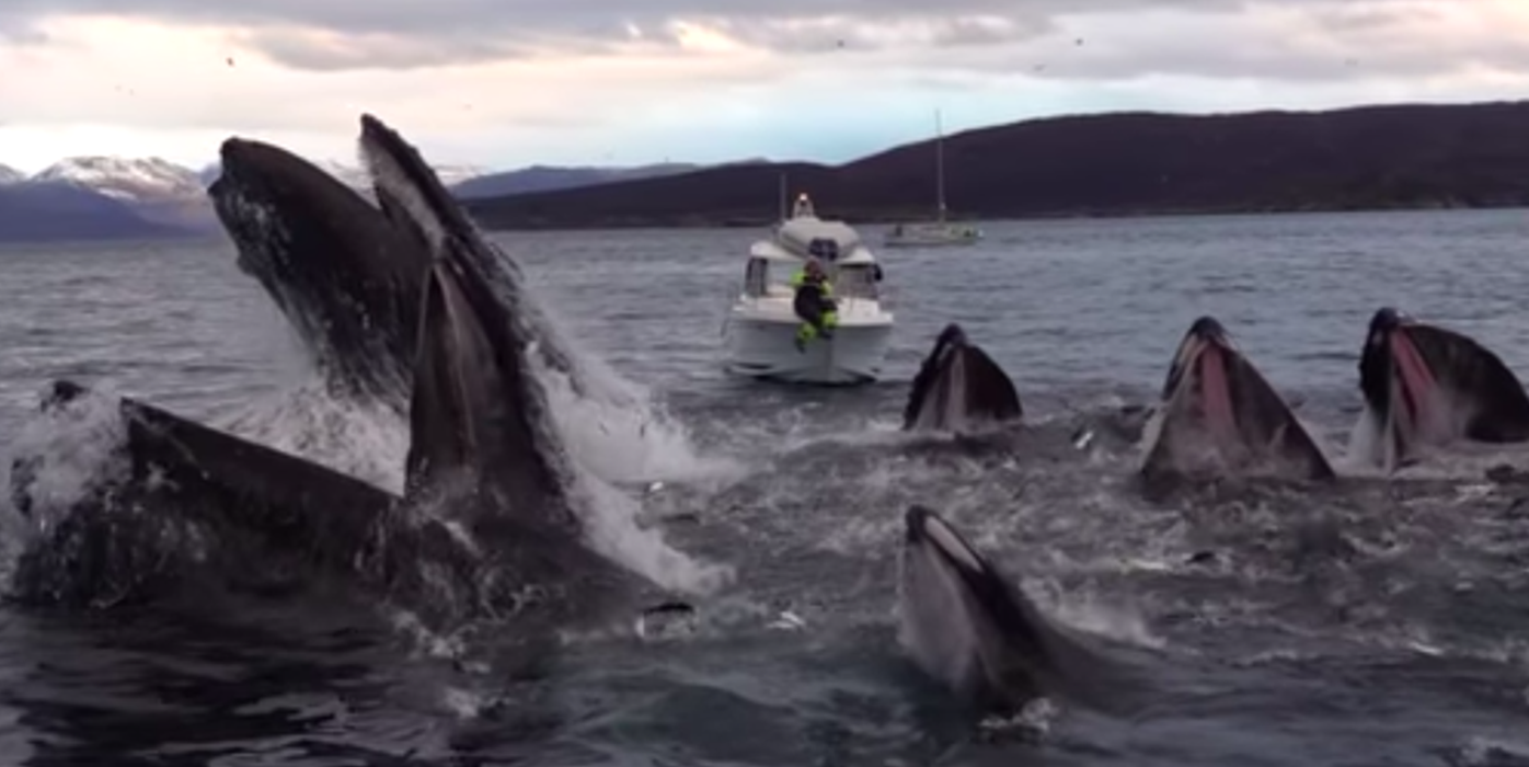 Mesmerising slow-motion video of humpback whales feeding goes viral