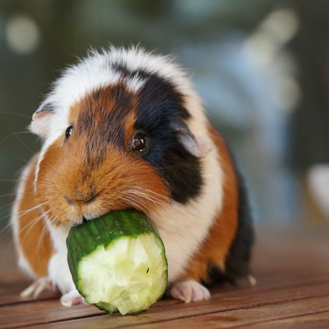what do guinea pigs eat - fresh vegetables