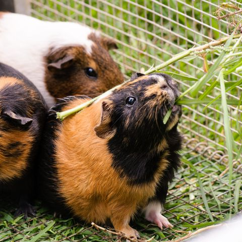 what do guinea pigs eat - hay