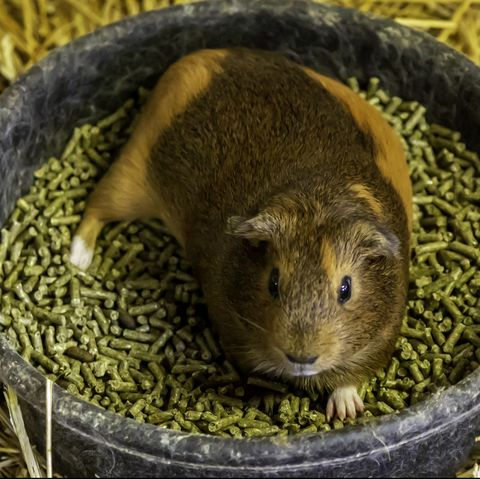 what do guinea pigs eat - pellets