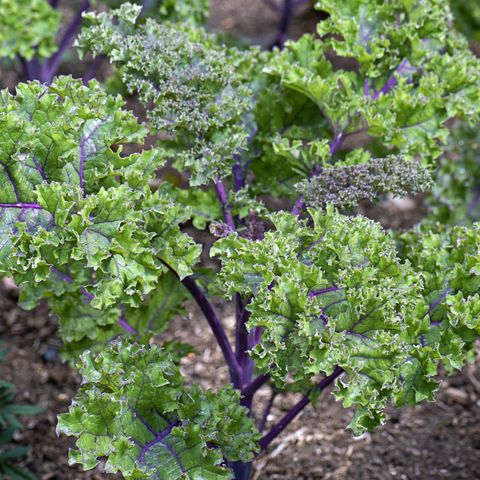 what to plant kale