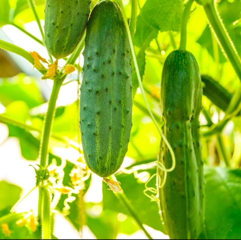 what to plant in august cucumbers