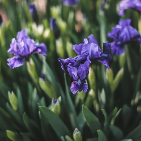 what to plant in august irises