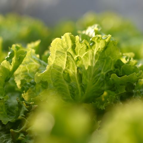 what to plant in august lettuce
