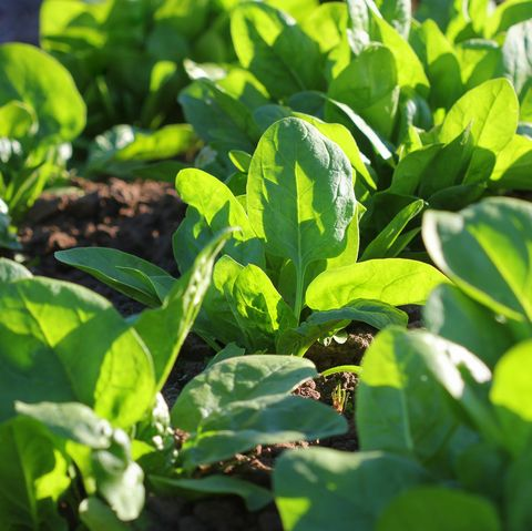 what to plant in august spinach