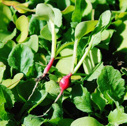 what to plant in august turnips