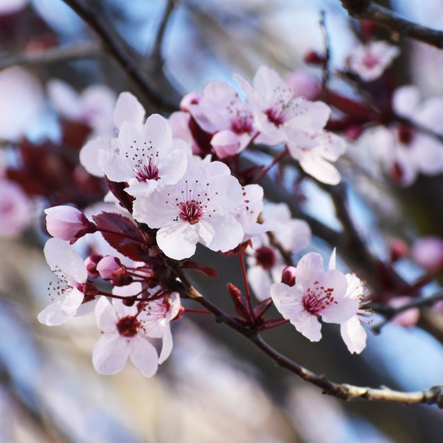 beautiful cherry blossoms blossoming in early spring
