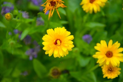 what to plant in september calendulas