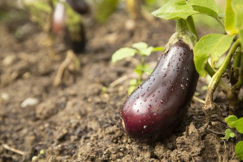what to plant in september eggplant