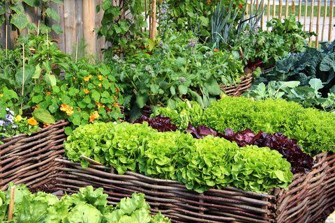 what to plant in september lettuce