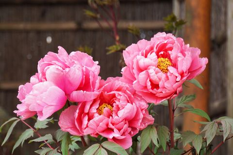 what to plant in september peonies