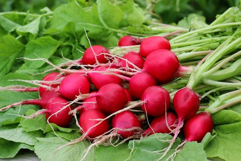 what to plant in september radishes