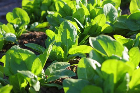 what to plant in september spinach