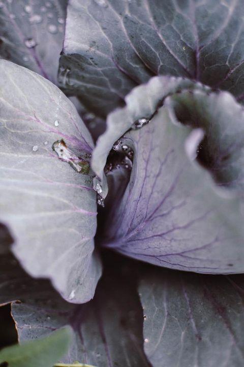 Leaf, Purple, Flower, Petal, Plant, Cabbage, Botany, Red cabbage, Vegetable, Leaf vegetable,