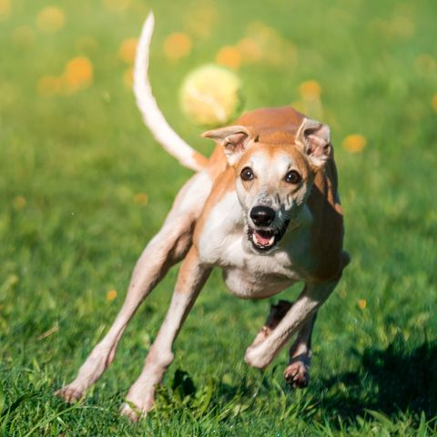 whippet fastest dogs
