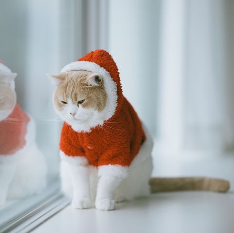 White and beige Scottish Fold cat in Christmas/Santa themed costume on window sill