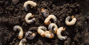 White chafer grub against the background of the soil. Larva of the May beetle.