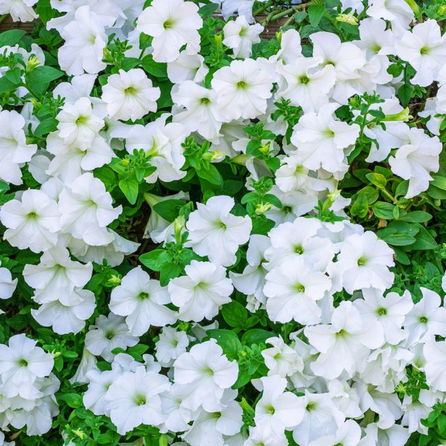15 Best White Flowers For Your Garden White Flowering Shrubs