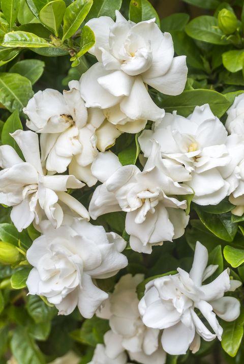 white gardenias royalty free image 1574016759.jpg?crop=0.447xw:1.00xh;0 - 15 Melhores FLORES BRANCAS para o seu JARDIM