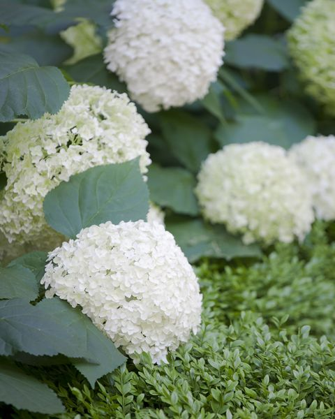 White Hydrangeas (Hydrangea arborescens) 'Annabelle'