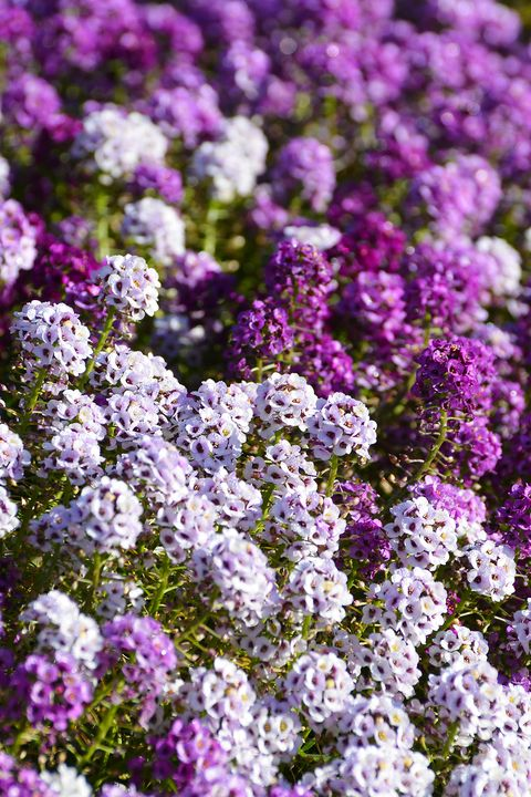 easiest flowers to grow sweet alyssum