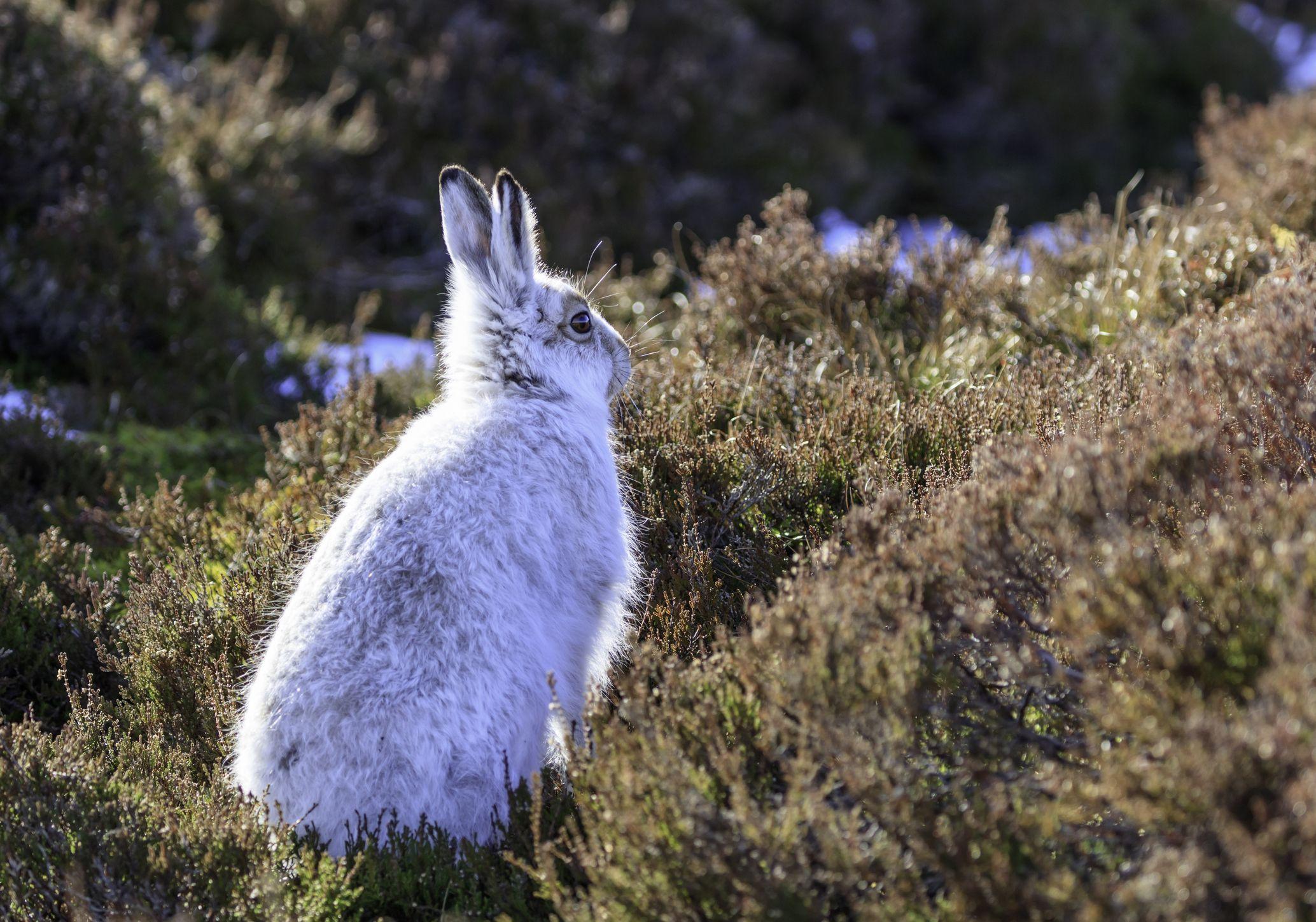 White mountain hare