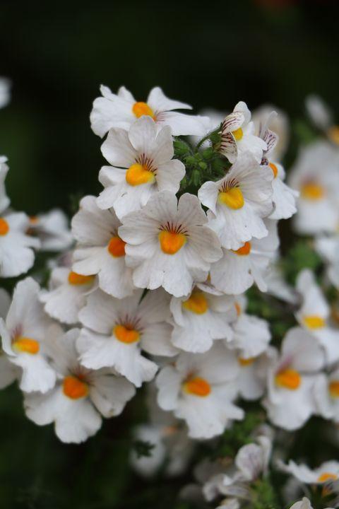 white nemesia flowers royalty free image 1574016446 - 15 Melhores FLORES BRANCAS para o seu JARDIM