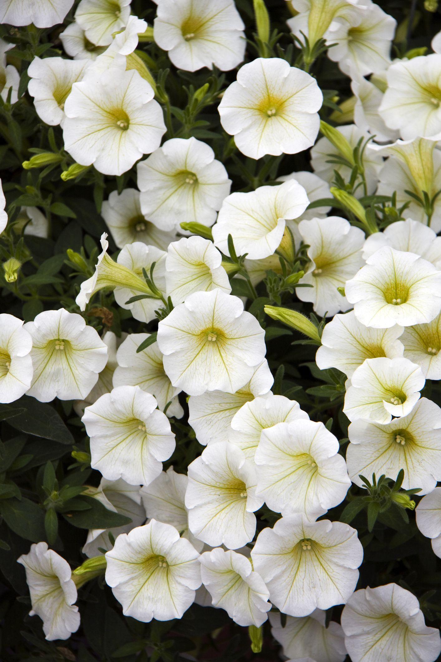 White Petunias (Petunia marisco) 'Kiddy White'