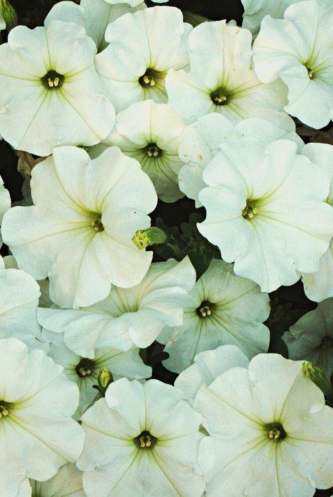 white petunias royalty free image 1574016542.jpg?crop=0.502xw:1.00xh;0 - 15 Melhores FLORES BRANCAS para o seu JARDIM