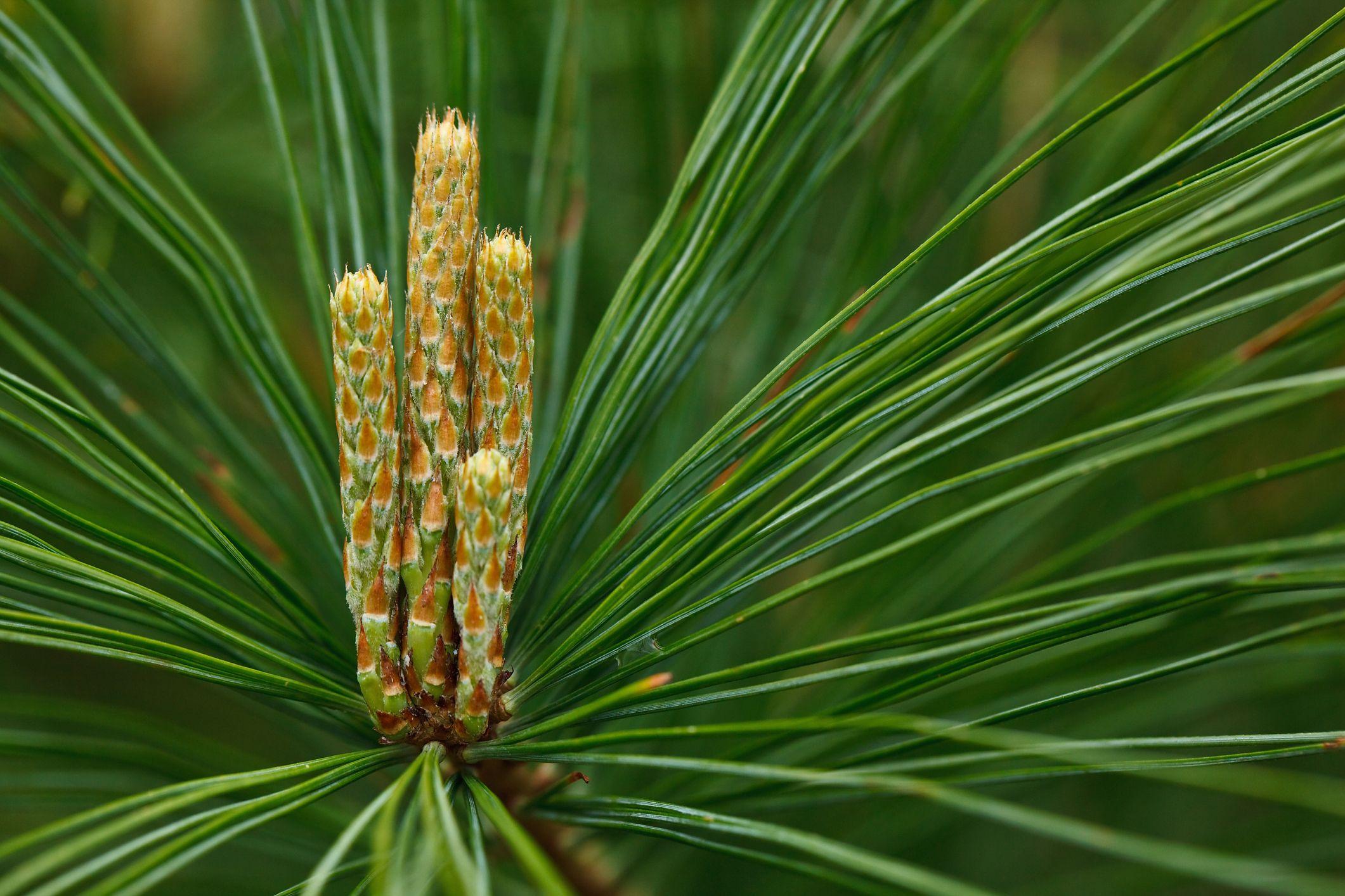 50. White Pine Cone and Tassel - Maine