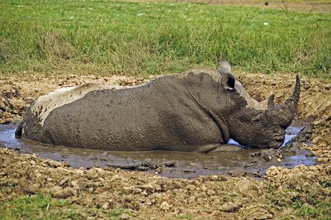 White Rhino, Ceratotherium simum, taking mud bath to protect skin and rid body of parasites. Lake Nakuru National Park Kenya. Dist. Localised: Southern and East Africa
