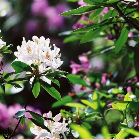 18 Beautiful Flowering Shrubs Best Flowering Bushes For Gardens