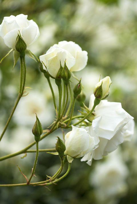 white roses bush close up royalty free image 1574016694.jpg?crop=0.447xw:1.00xh;0 - 15 Melhores FLORES BRANCAS para o seu JARDIM
