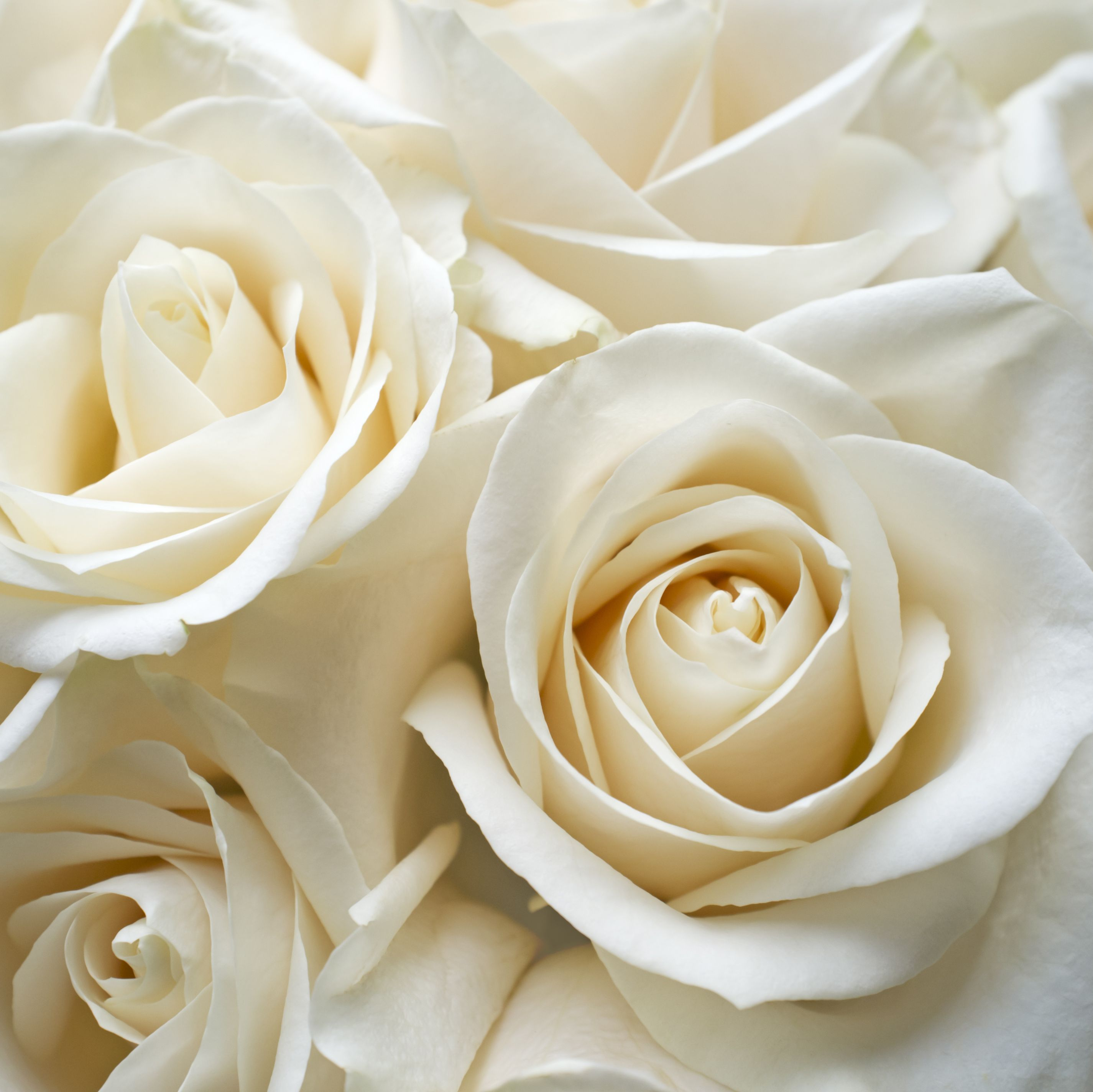 White Roses - Rose Color Meanings